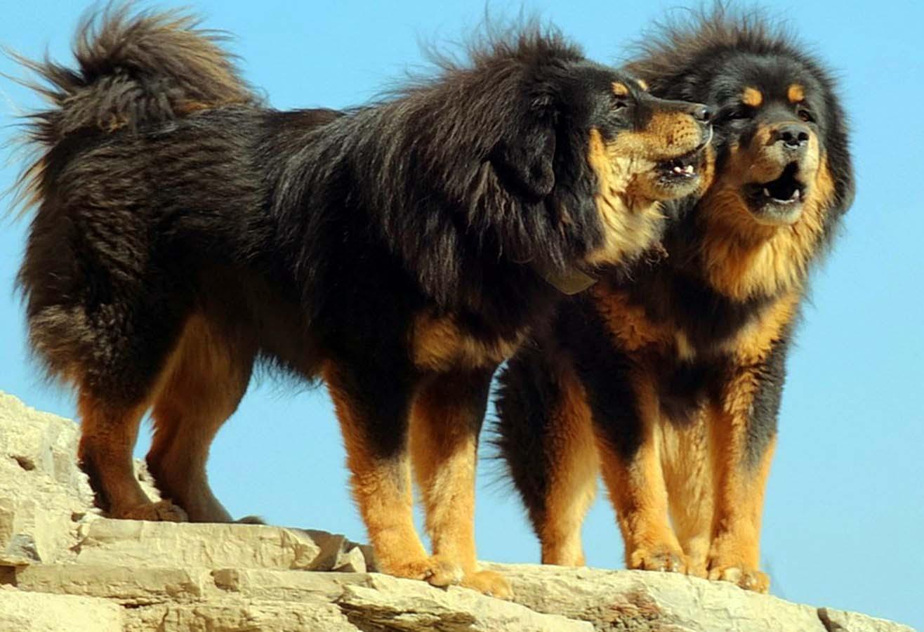 Монгольская овчарка банхар - фото, характеристика и описание породы
