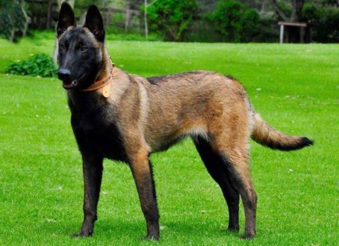 Малинуа – бельгийская овчарка: описание и характеристика породы