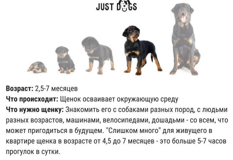 Как правильно выгуливать щенка без прививок