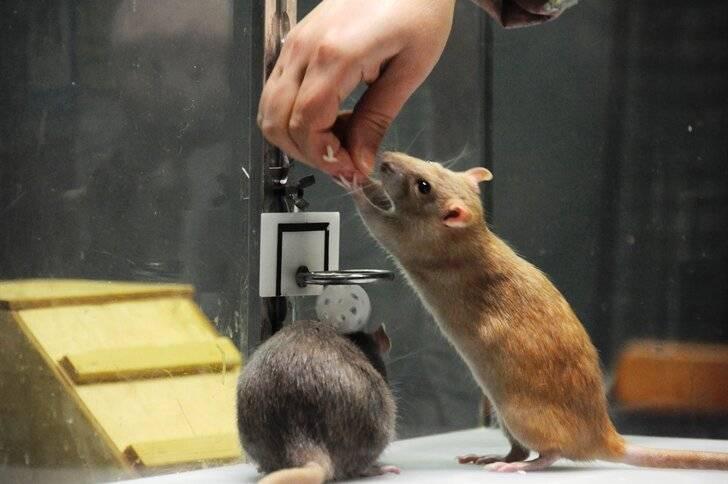 Дрессировка крыс — учим в домашних условиях трюкам и командам