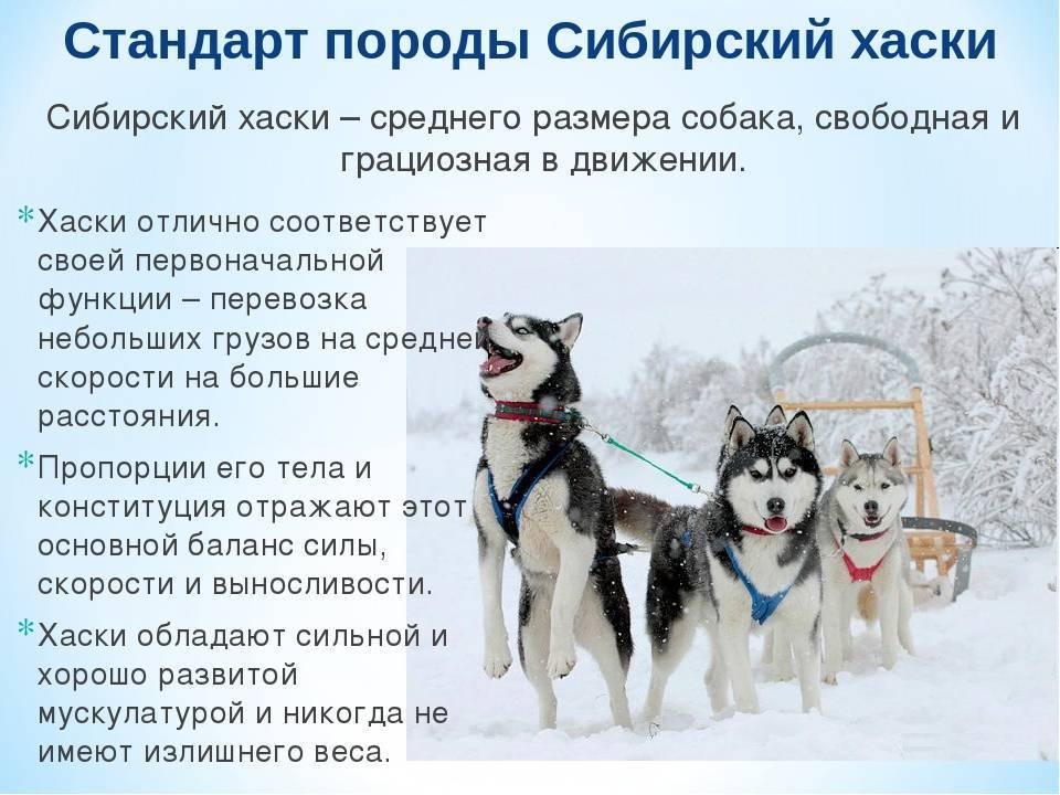 Общие сведения о породе сибирский хаски - описание породы, характеристика, фото хаски