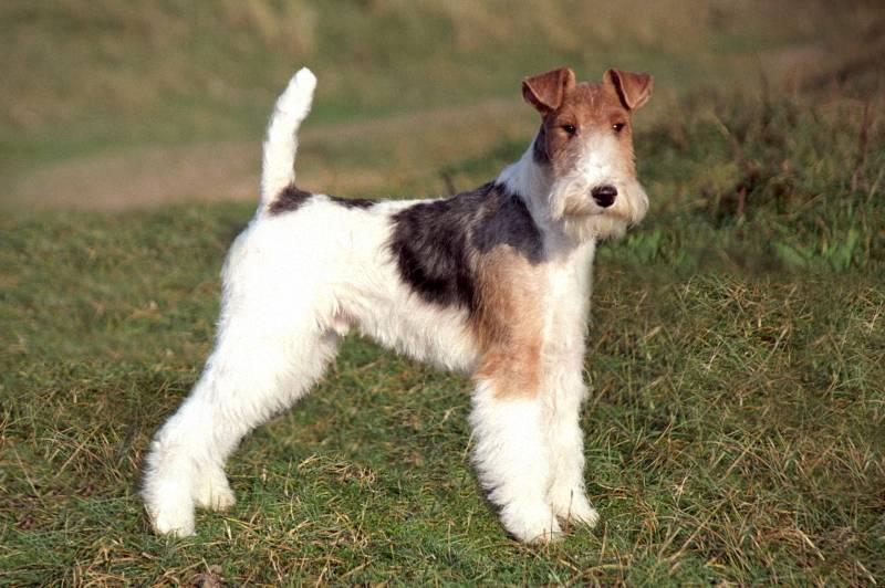 Порода собак гладкошерстный фокстерьер - описание, характер, характеристика, фото гладкошерстных фокстерьеров и видео, цена