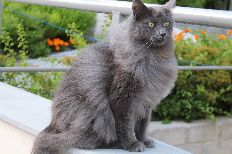 Порода кошек нибелунг: описание породы, характер, цена, уход и содержание, фото