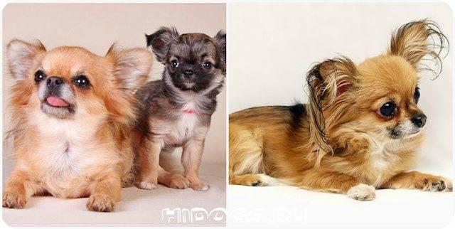 Течка у чихуахуа: в каком возрасте она начинается, как часто бывает, сколько дней длится и как ухаживать за собакой в этот период