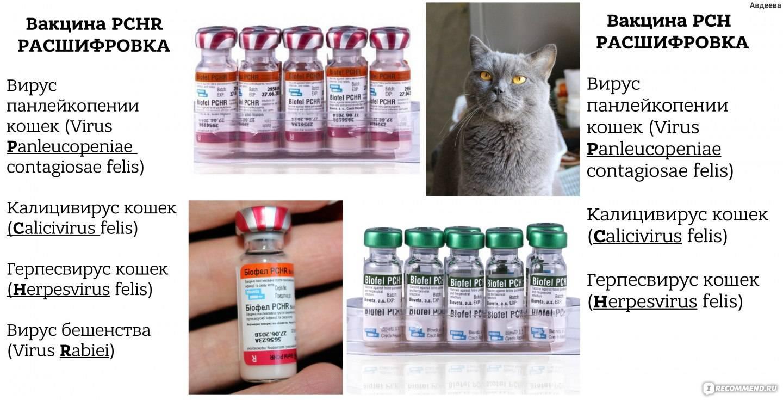 Когда делать кошке прививку от бешенства: первая вакцинация, подготовка, противопоказания