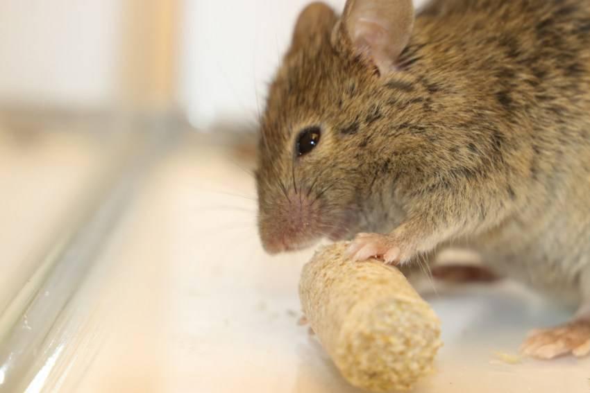 Карликовая бамбуковая японская мышь - содержание и уход