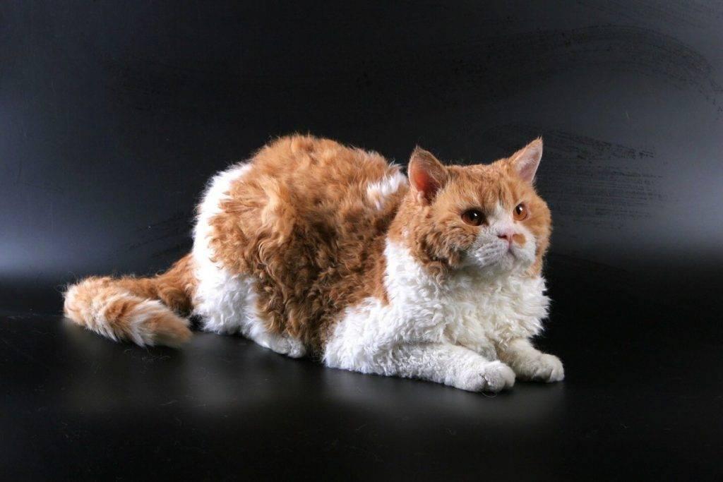 Кошки с кудрявой шерстью: обзор популярных пород