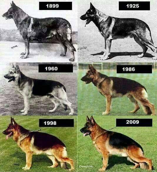 Немецкая овчаркаописание, плюсы и минусы, выбор щенка, питомники.