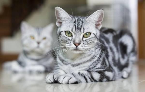 Короткошерстные кошки: список популярных пород