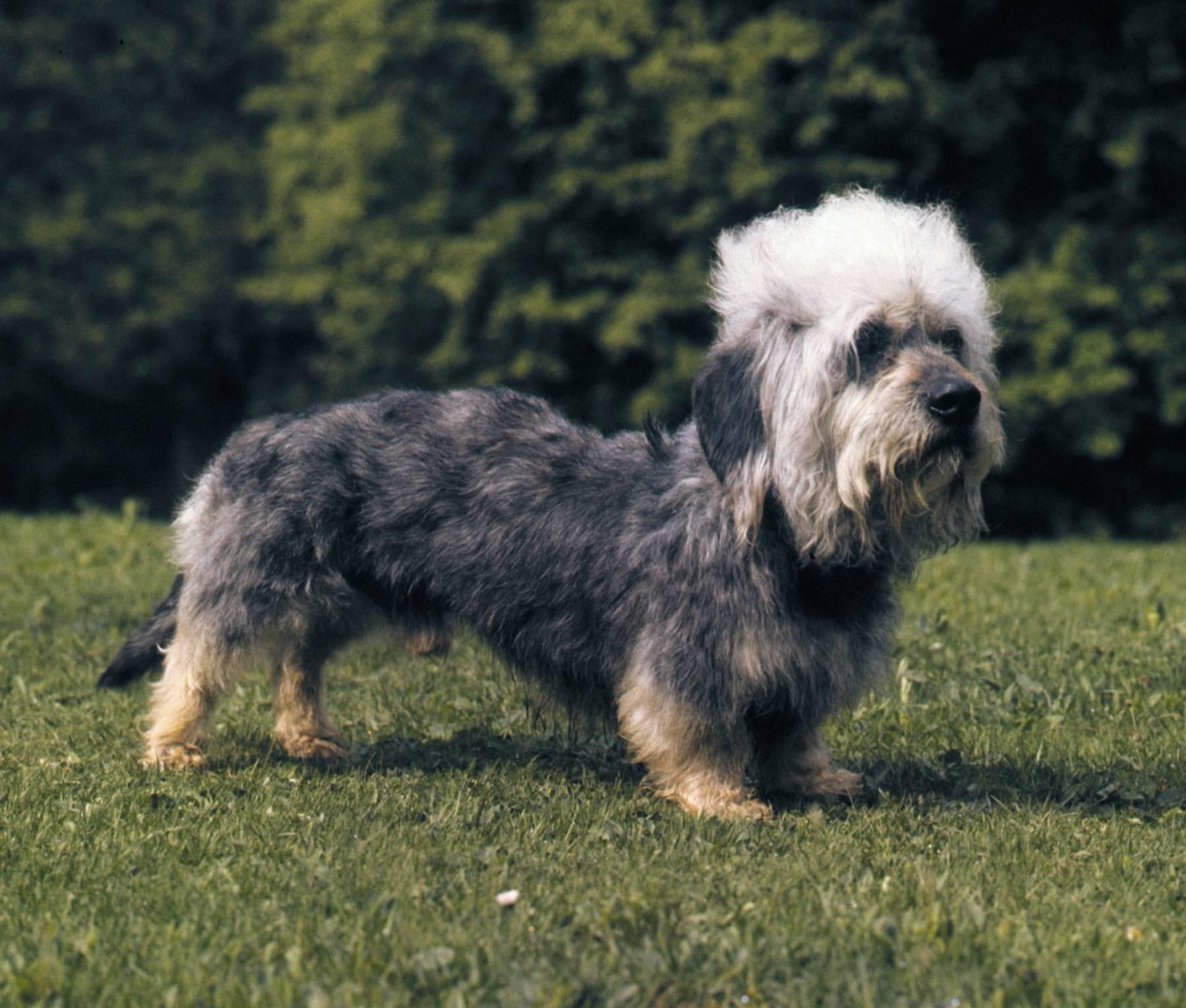 Денди-динмонт терьер: все о породе собак