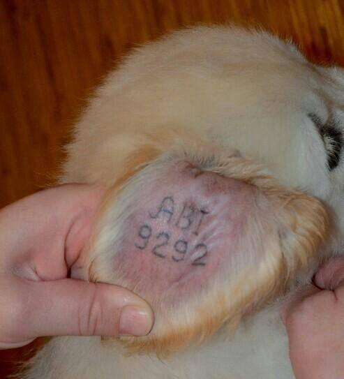 Клеймо у щенка - что это и для чего оно нужно