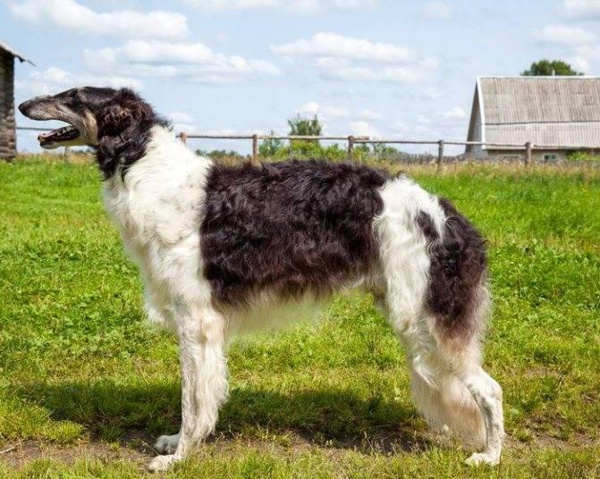 Русская борзая собака: особенности породы и ее содержания