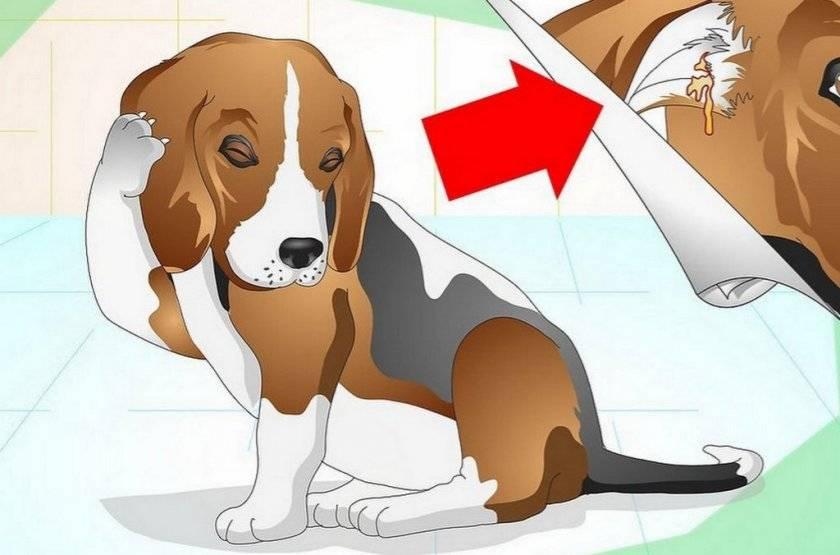 Почему собака кашляет как будто подавилась? причины, диагностика и лечение при кашле у собак