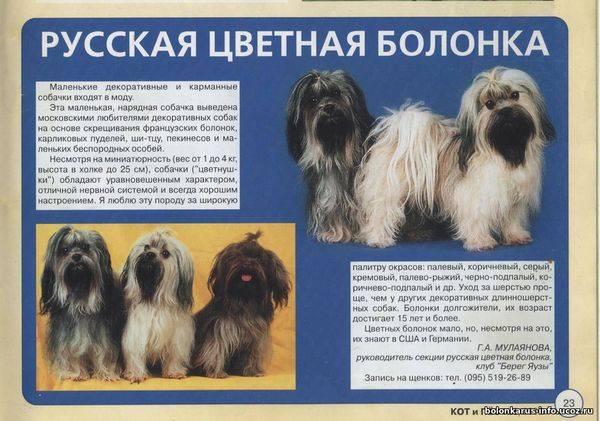 Русские цветные болонки: особенности, темперамент, выбор и уход