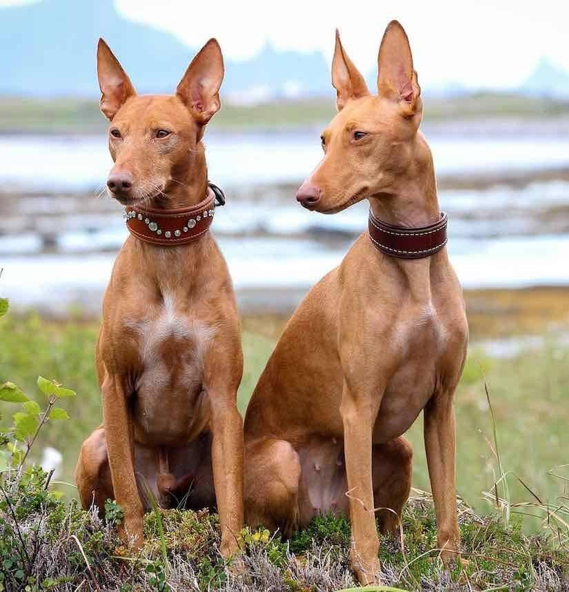 Фараонова собака: описание египетской породы, рекомендации по содержанию и уходу