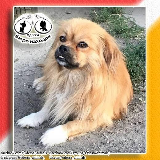Тибетский спаниель или тибби: фото и описание породы. тибетский спаниель: описание породы.