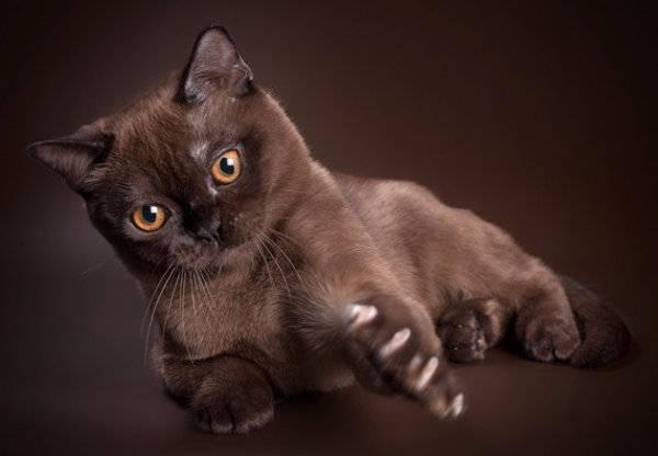 Бурманская короткошерстная кошка – бриллиант в атласной шубке