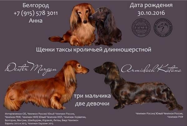 Длинношерстная такса: описание породы, характеристика, стандартная, лохматая, черная, рыжая