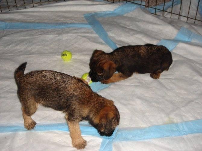 Как приучить щенка ходить на пеленку: быстро и легко