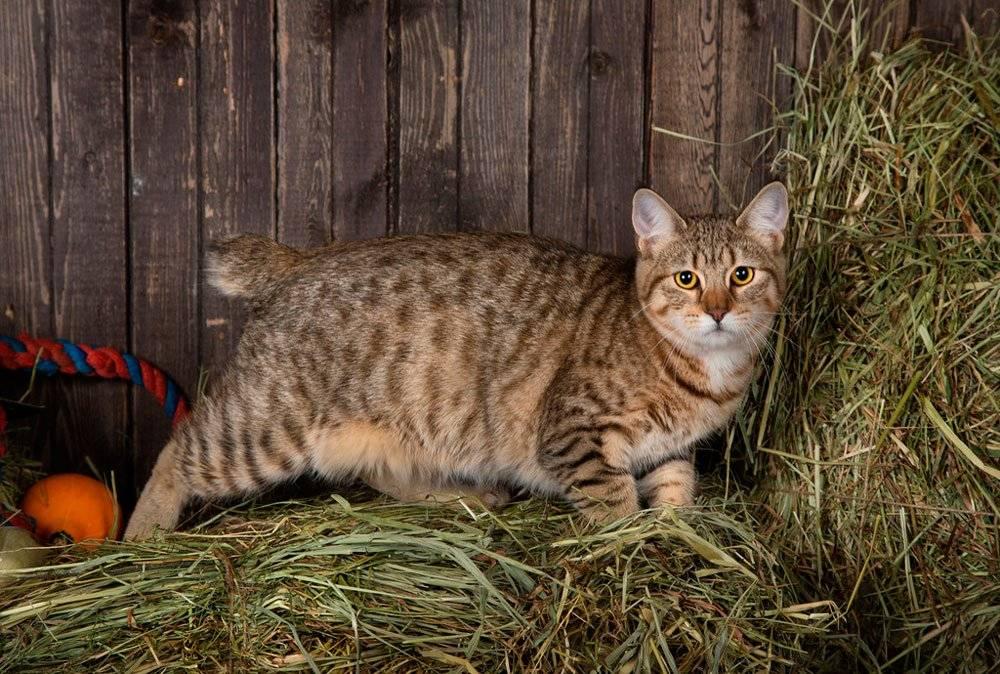 Кошка пиксибоб: описание и характеристика породы, окрасы и темперамент, питание и разведение