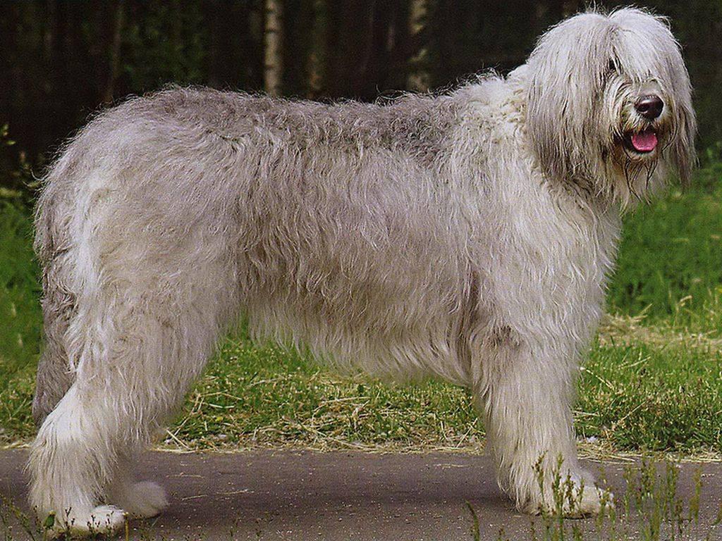 Южнорусская овчарка: фото, описание и характеристика породы