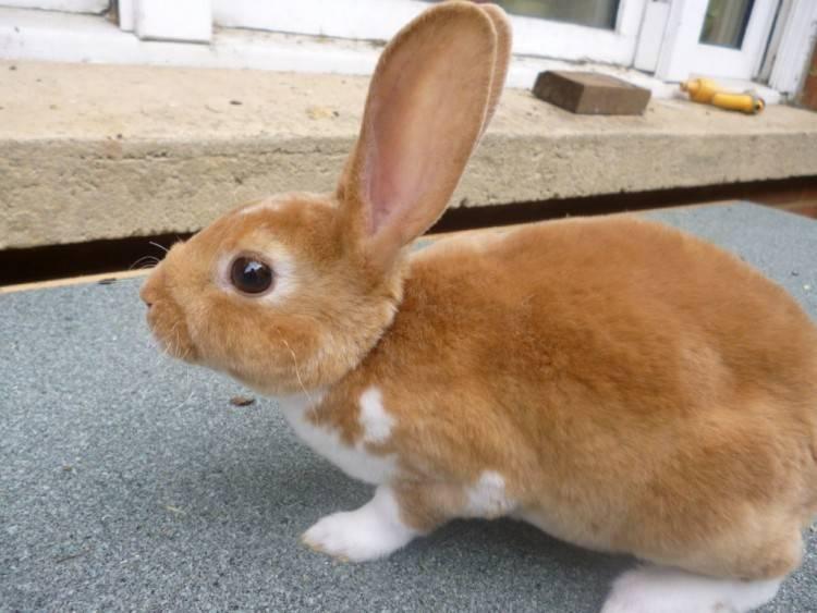 Декоративные кролики: породы и особенности содержания