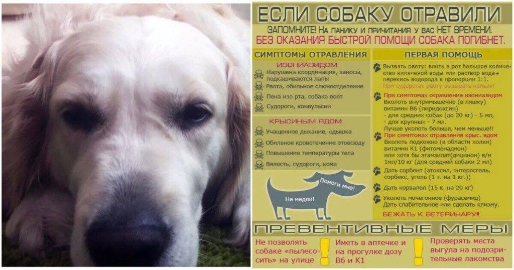 Отравление у собаки: виды, признаки, частые причины, первая помощь, аптечные и подручные средства, промывание желудка