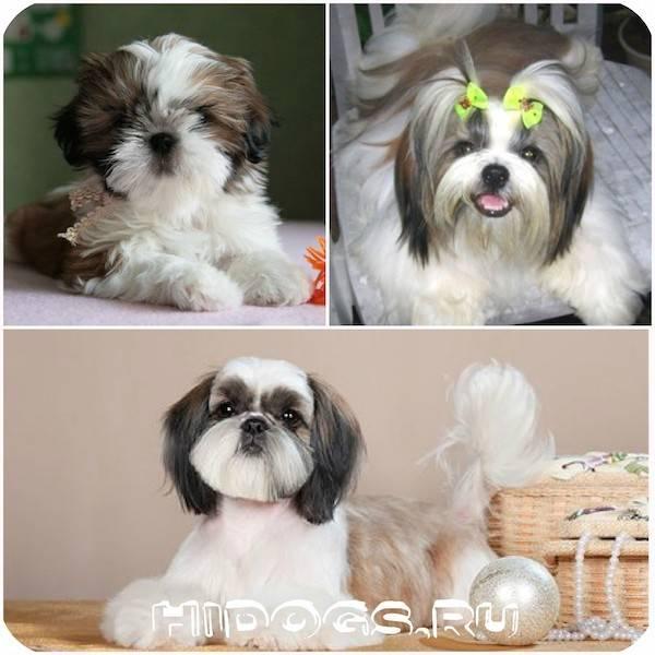 Ши тцу: описание породы собак с фото, виды стрижек, цена, характер, питание, что делать, если выпал глаз, сколько живут, какой уход за щенками, отзывы владельцев