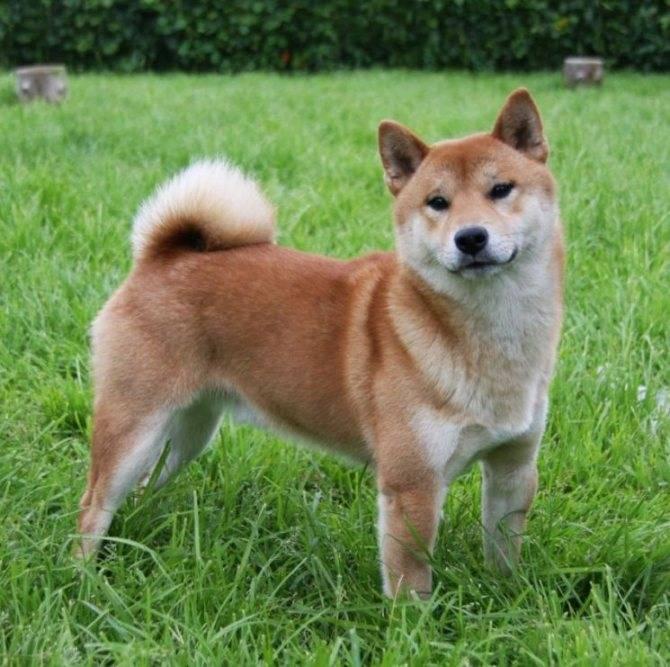Сиба-ину — красивые улыбчивые собаки ⋆ собакапедия