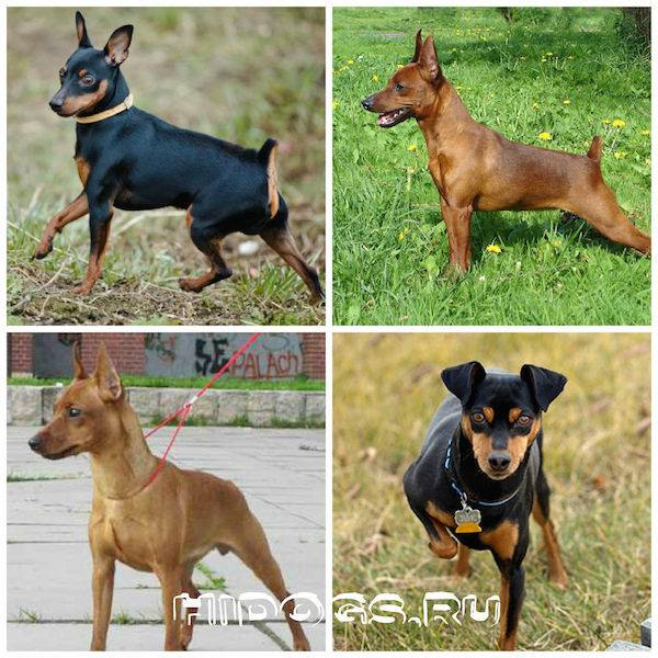 Описание и отзывы о собаках породы цвергпинчер
