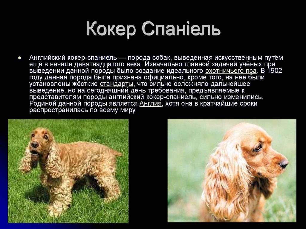 Русский спаниель уход, содержание и характеристика породы (+фото собаки)