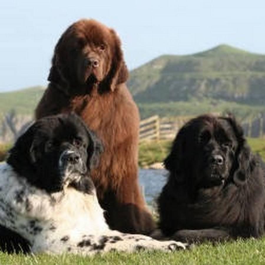 Порода собак водолаз: идеальный питомец для всей семьи