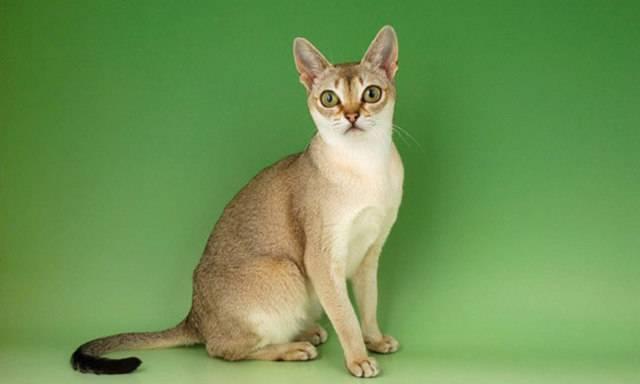 Сингапурская кошка: описание породы и характера, размеры и вес, уход и содержание