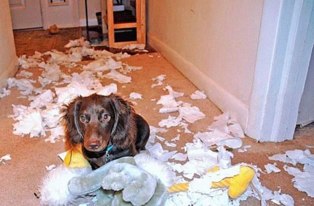 4 методы как отучить щенка и взрослую собаку грызть мебель и обои на стенах