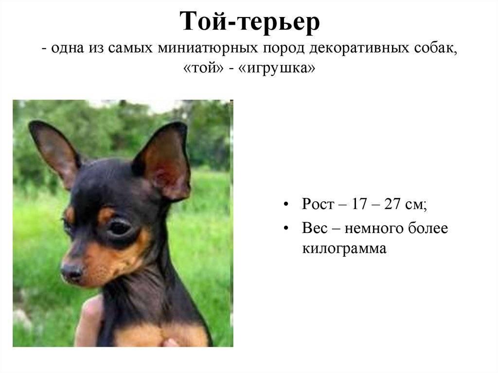 Английский той-терьер – игрушечный пес или друг в кармане