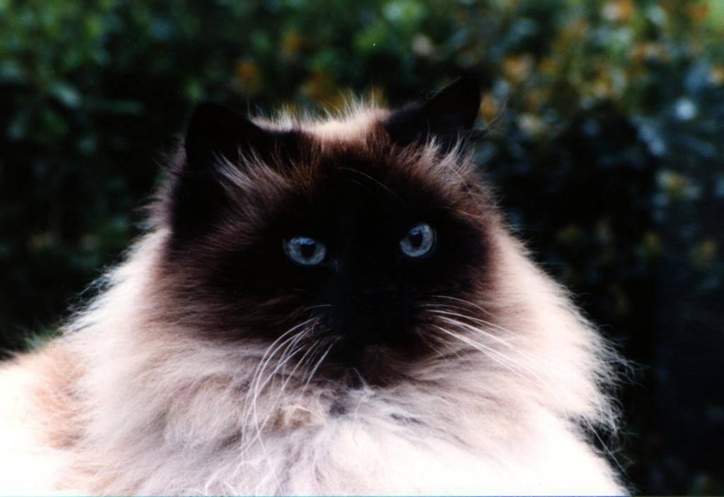 Гималайская порода кошек: описание, характер, цена и отзывы вадельцев