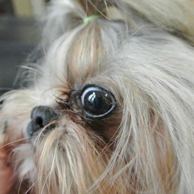 У каких собак выпадают глаза, причины