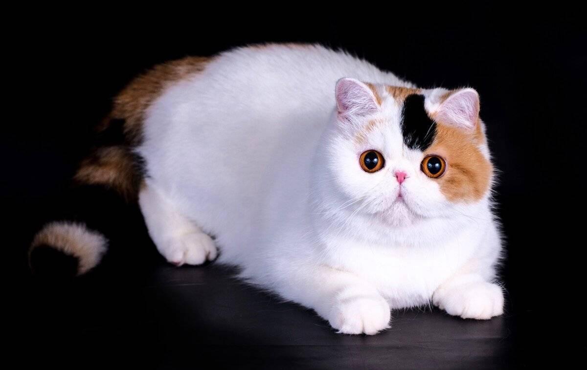 Экзотическая кошка: милый котик с приплюснутой мордочкой