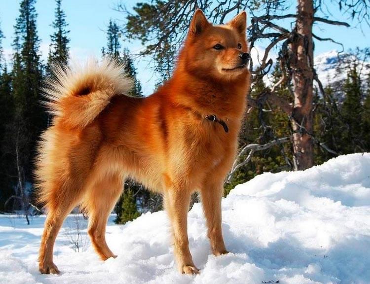 Карело-финская лайка: фото, описание, характер, содержание, отзывы