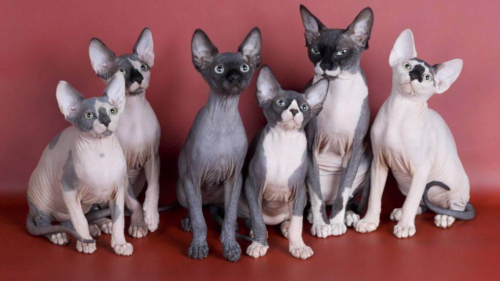Сколько живут сфинксы: продолжительность жизни лысых кошек в домашних условиях