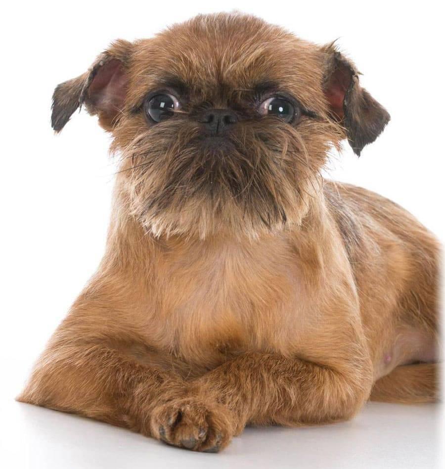 Бельгийский гриффон: описание, характеристика, фото, щенки
