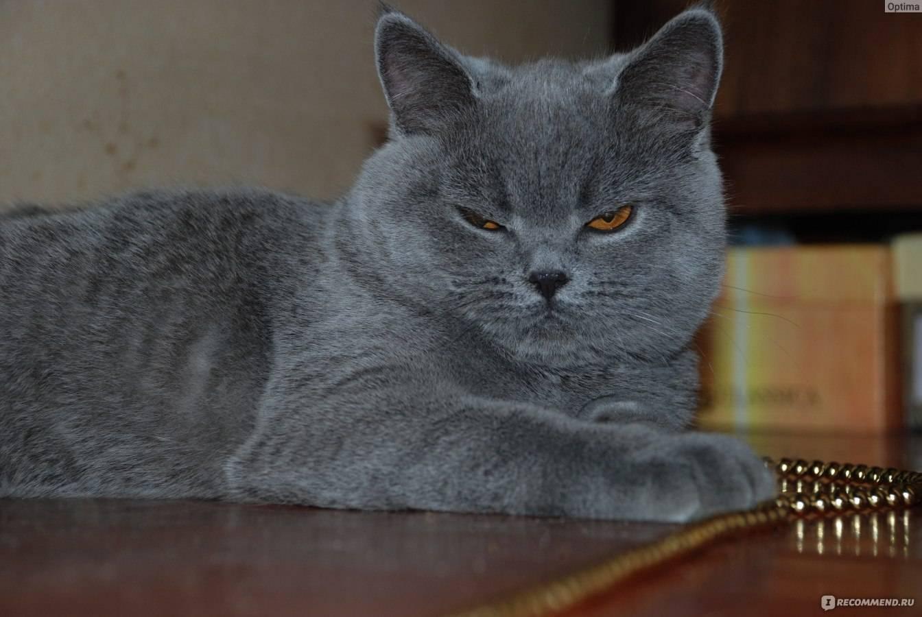Клички для котов британцев: примеры интересных имен