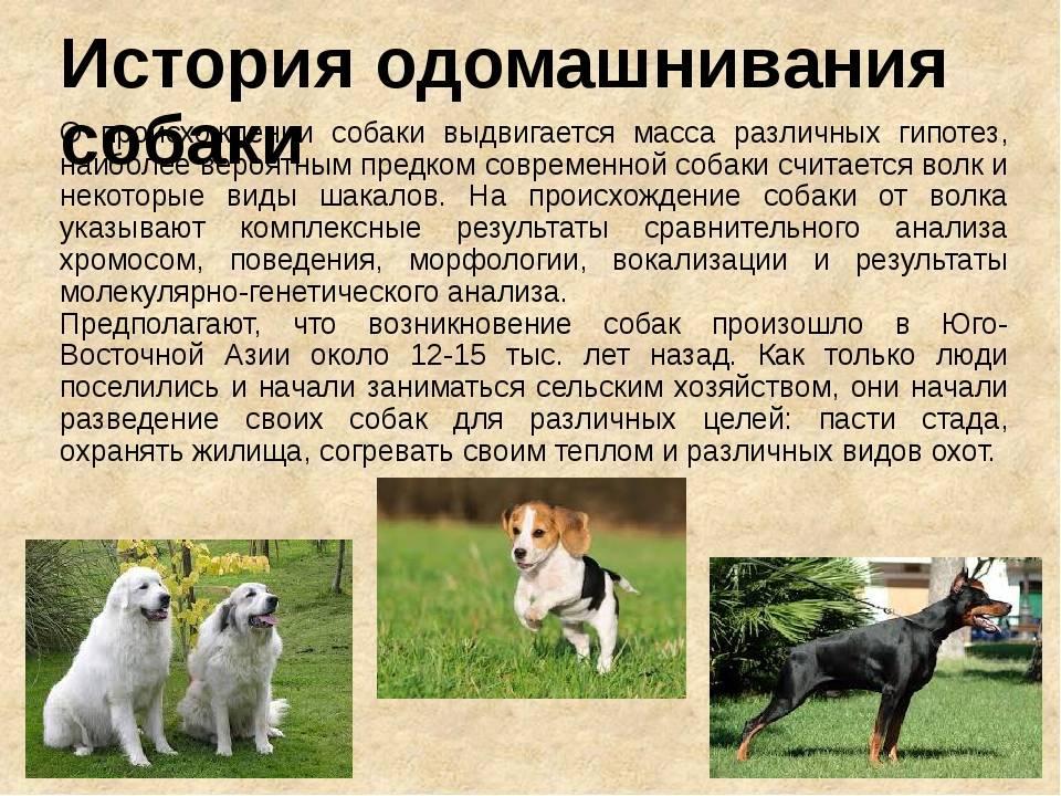 Адаптация дикой собаки: инициатива и контакт с человеком