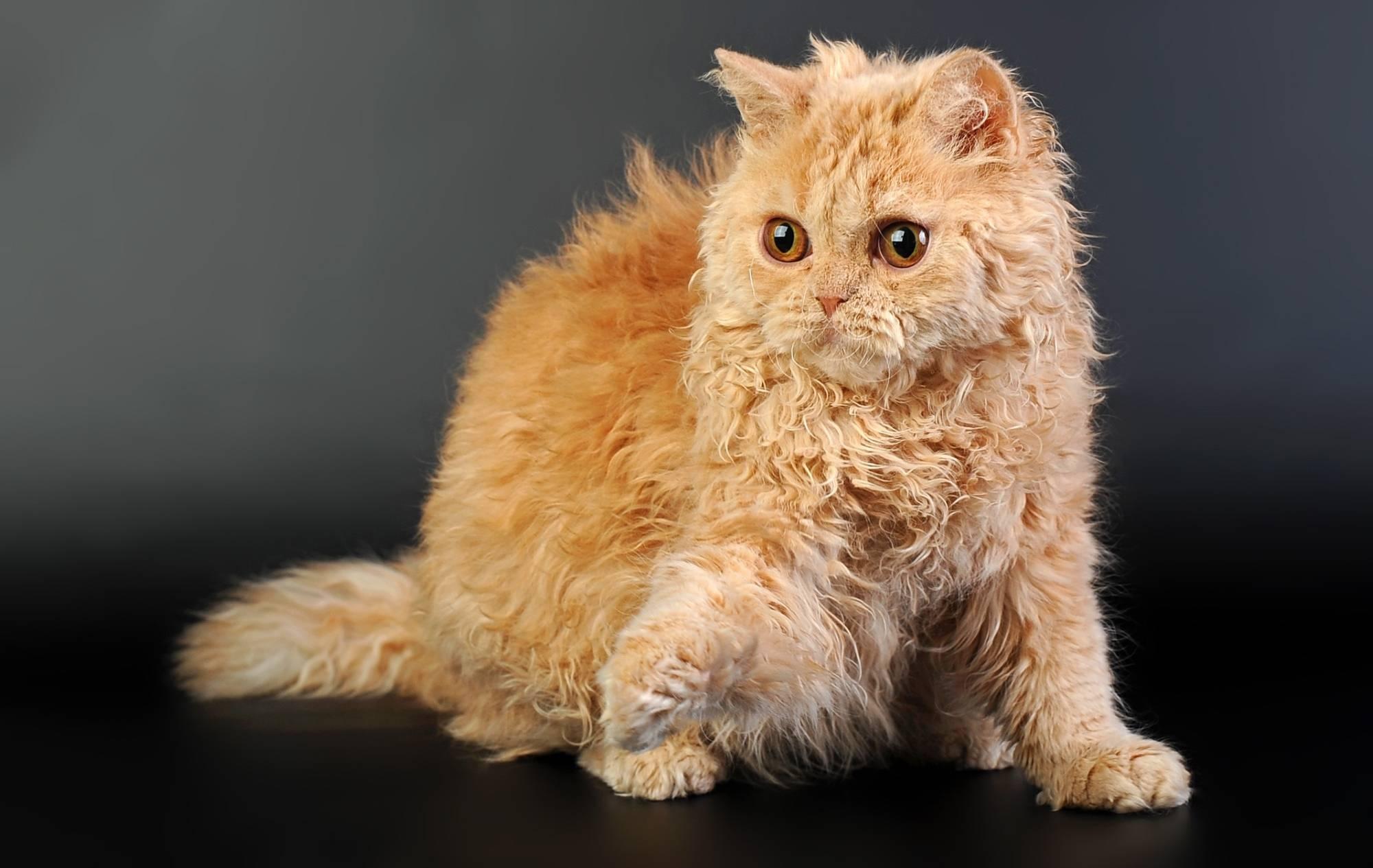 Кудрявые породы кошек и котов