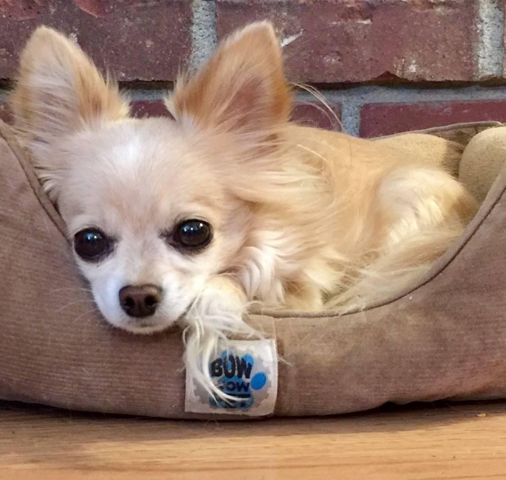 Компактная собака чихуахуа: можно ли рекомендовать породу в качестве домашнего питомца