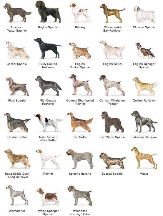 Средние породы собак – особенности пород собак среднего размера с фотографиями