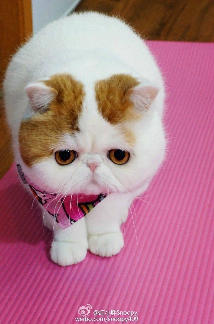 4 породы котов с приплюснутой мордой: плюсы и минусы, особенности ухода за кошками