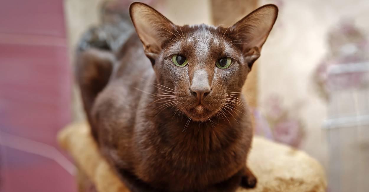 Кошки гавана: описание породы, характер, особенности ухода, история выведения