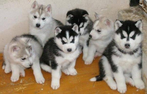Как ухаживать за щенком хаски   собачий блог