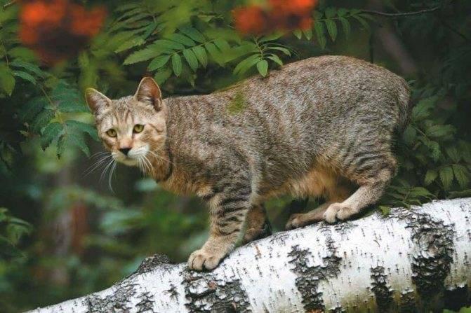 Пиксибоб порода кошек: описание, фото, характер и уход